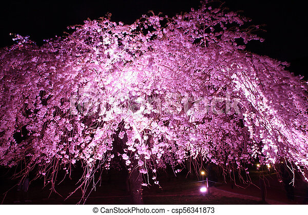 Weeping Cherry Tree In Sakura No Sato Izu Shizuoka Japan Night