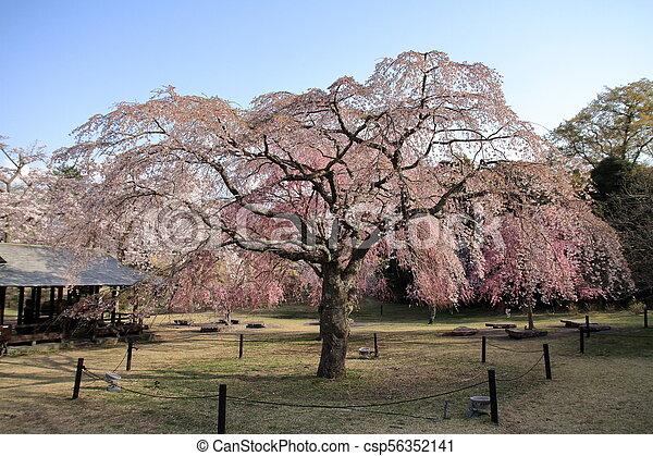 Weeping Cherry Tree In Sakura No Sato Izu Shizuoka Japan