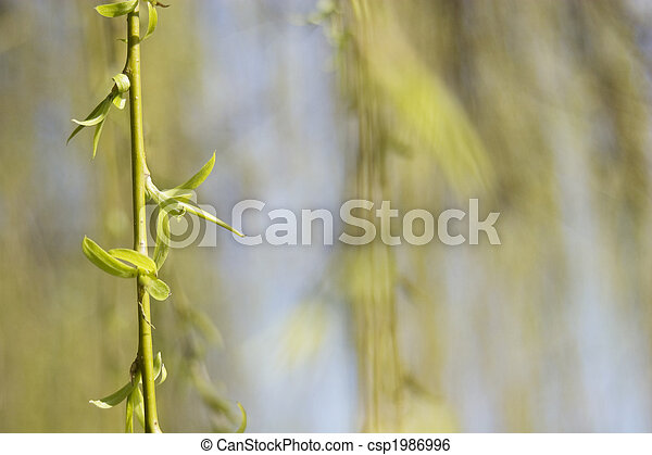 weeping willow twig in the spring - csp1986996