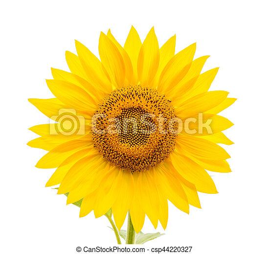 Weiße blume, hintergrund, freigestellt, sonnenblume.