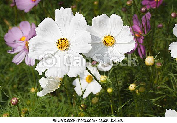 Weiße blume, kosmos. Kosmos blume, kleingarten, weißes Stockfoto ...