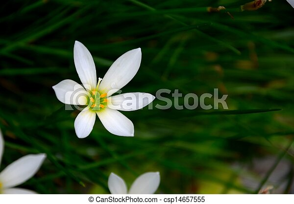 Weiße blume, lilie, regen, eins. Lilie, lily., familie, farbe ...