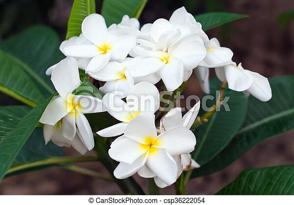 Weiße blume, plumeria. Blume, name, rubra), (science,... Stockbilder ...