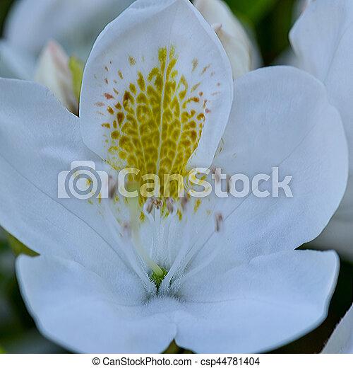 Weiße blume, rhododendron. Rhododendron, blume,... Stockfotografie ...