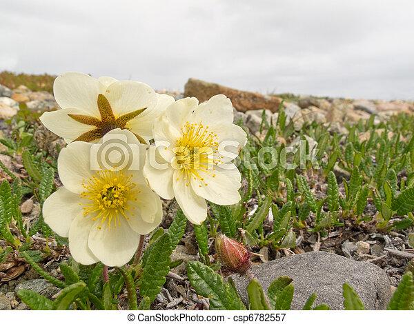 weißes, blühen, mountain-avens - csp6782557