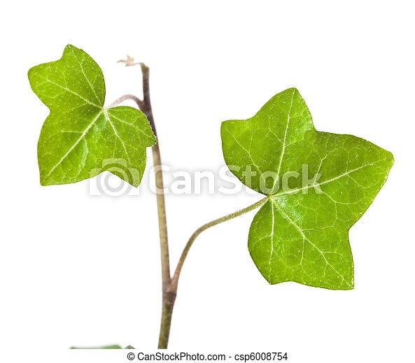 Ivy ist auf weiß isoliert - csp6008754