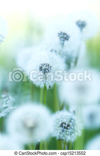 weißes, löwenzahn - csp15213552