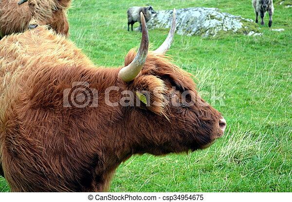 weide, norwegen, kuh, longhorn - csp34954675