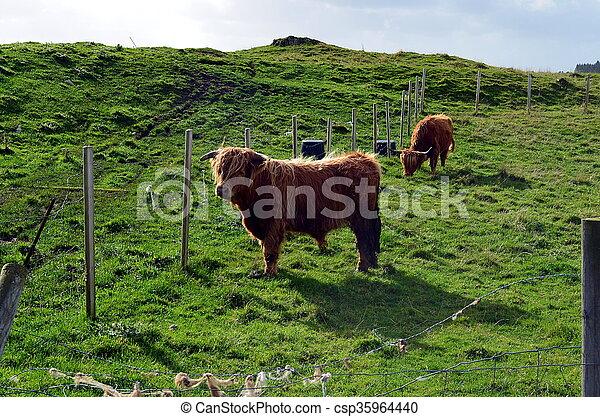 weide, norwegen, kuh, longhorn - csp35964440