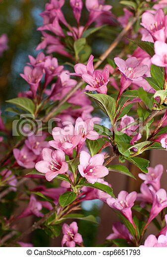 Weigela. branch plants with bright flowers - csp6651793