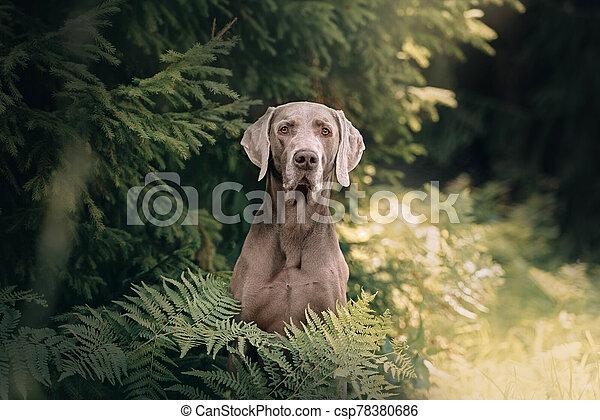 weimaraner dog portrait in the forest, close up - csp78380686