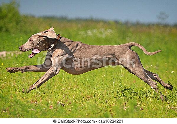 Weimaraner dog run in field - csp10234221