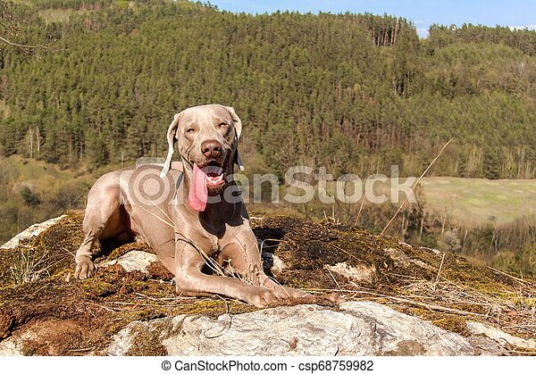Weimaraner on rock in forest. Hunting dog on the hunt. Spring walk through the forest with a dog. Hound on the hunt. - csp68759982