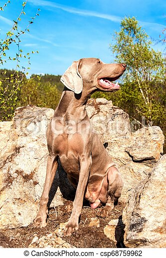 Weimaraner on rock in forest. Hunting dog on the hunt. Spring walk through the forest with a dog. Hound on the hunt. - csp68759962