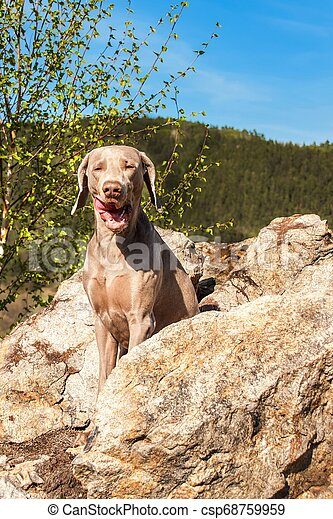 Weimaraner on rock in forest. Hunting dog on the hunt. Spring walk through the forest with a dog. Hound on the hunt. - csp68759959