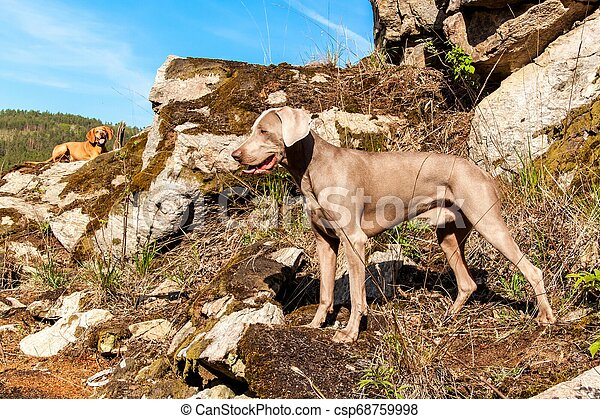 Weimaraner on rock in forest. Hunting dog on the hunt. Spring walk through the forest with a dog. Hound on the hunt. - csp68759998