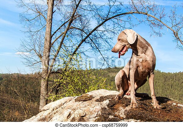 Weimaraner on rock in forest. Hunting dog on the hunt. Spring walk through the forest with a dog. Hound on the hunt. - csp68759999