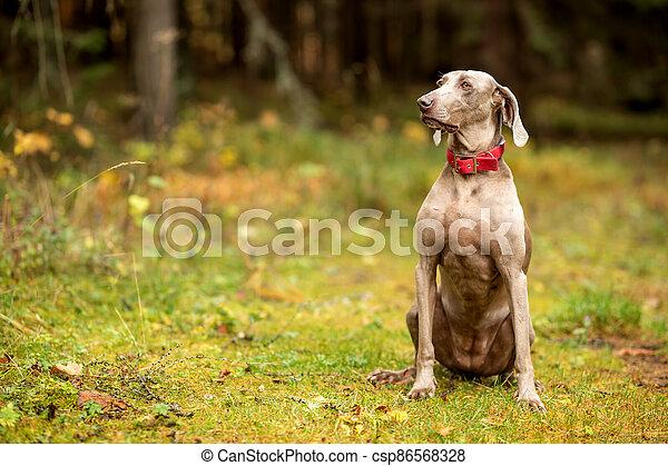 Weimaraner vizsla hunting dog sitting in the forest - csp86568328