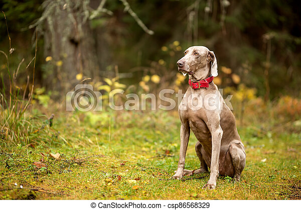 Weimaraner vizsla hunting dog sitting in the forest - csp86568329