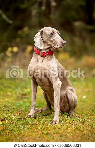 Weimaraner vizsla hunting dog sitting in the forest - csp86568331