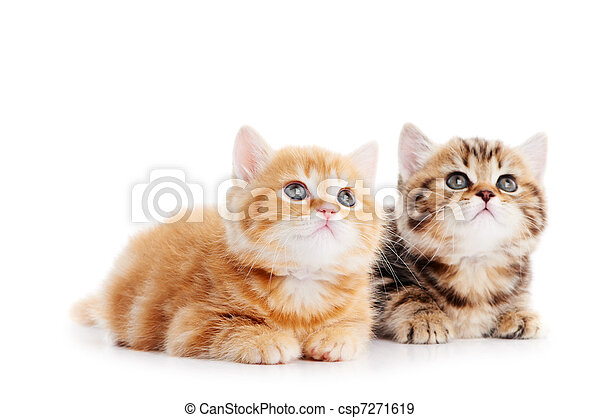 weinig; niet zo(veel), kat, shorthair, brits, katjes - csp7271619