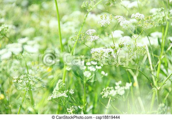 Weisse blumen, hintergrund. Schöne , sommer, nahaufnahme ...