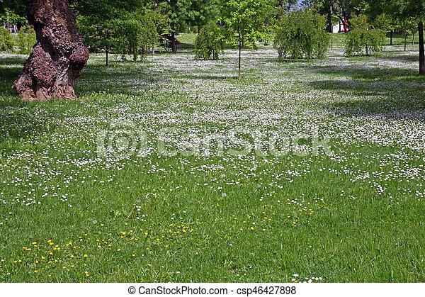 Weisse blumen, wiese. Schöne , wiese, park, bäume, zwischen ...