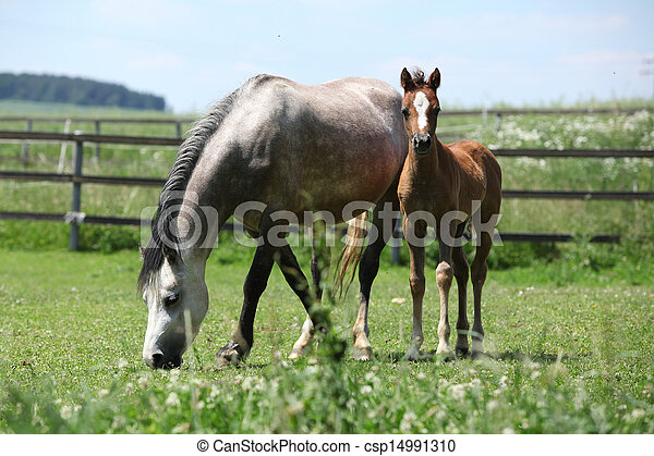 Welsh mountain pony mare with foal on pasture - csp14991310