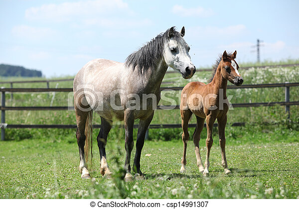 Welsh mountain pony mare with foal on pasture - csp14991307