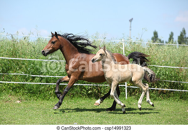 Welsh mountain pony mare with foal running - csp14991323