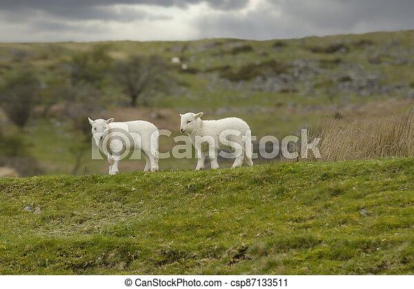 Welsh Mountain Sheep - csp87133511
