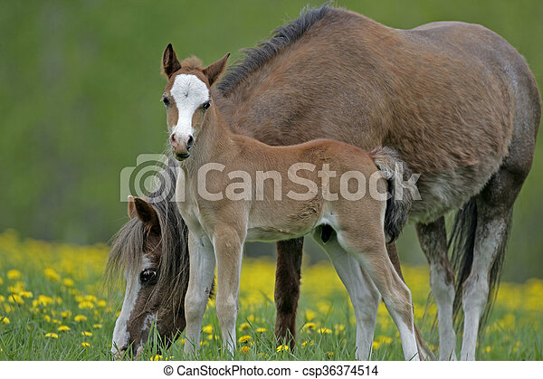 Welsh Pony Mare and Foal - csp36374514