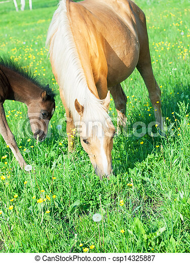 welsh pony mare with foal in the pasture - csp14325887