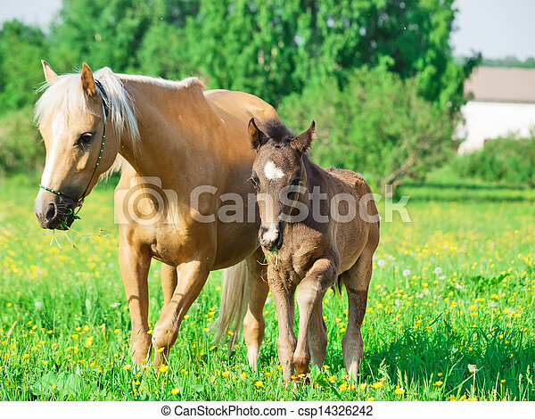 welsh pony mare with foal in the spring meadow - csp14326242