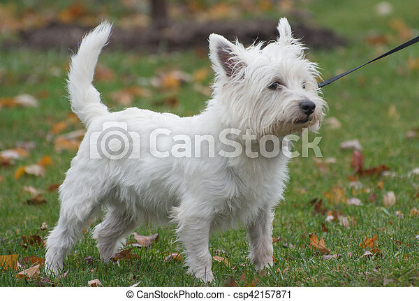West highland white terrier - csp42157871