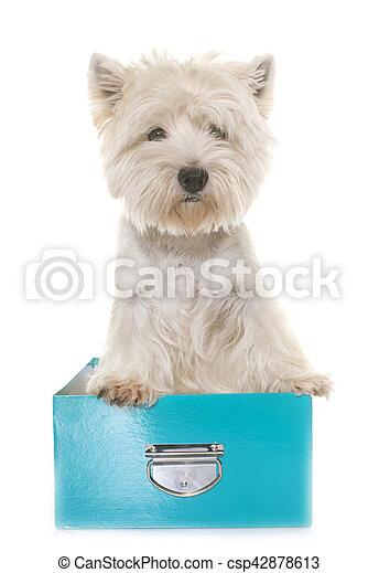 west highland white terrier - csp42878613