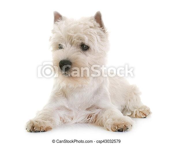 west highland white terrier - csp43032579