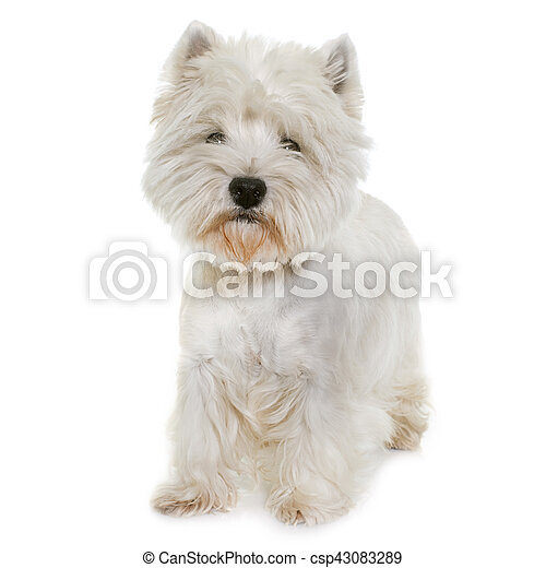 west highland white terrier - csp43083289