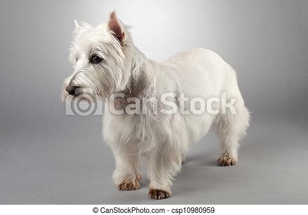 west highland white terrier - csp10980959