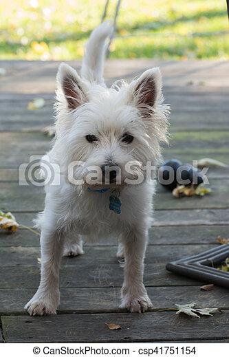 West highland white terrier - csp41751154