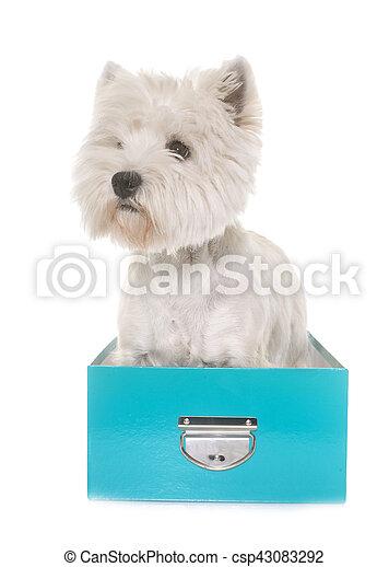west highland white terrier - csp43083292