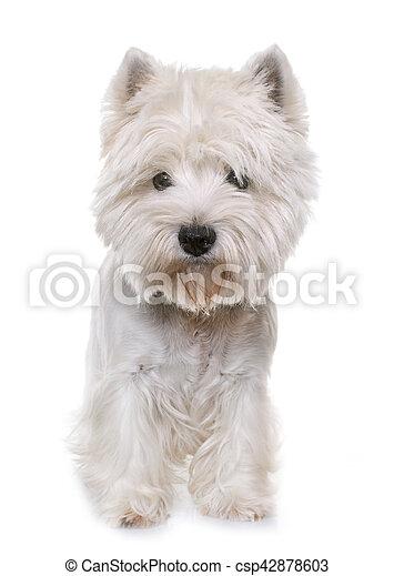 west highland white terrier - csp42878603