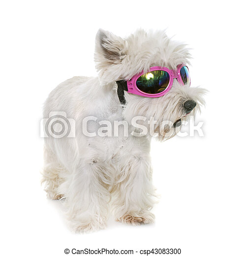 west highland white terrier - csp43083300
