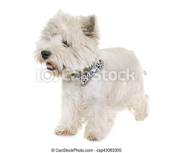 west highland white terrier - csp43083305