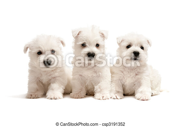 westen, drei, hundebabys, weißes, hochland, terrier - csp3191352