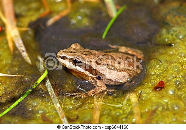 Western Chorus Frog (Pseudacris triseriata) - csp6644160