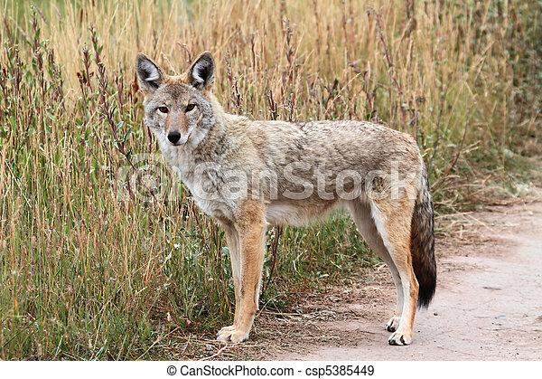 Western Coyote - csp5385449