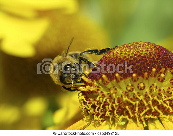 Bộ sưu tập Côn trùng - Page 33 Western-honey-bee-apis-mellifica-stock-images_csp8492125