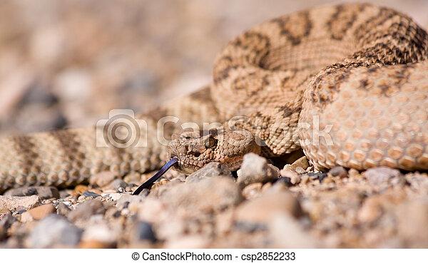 Western Rattlesnake Close Up Of Western Diamondback Rattlesnake In