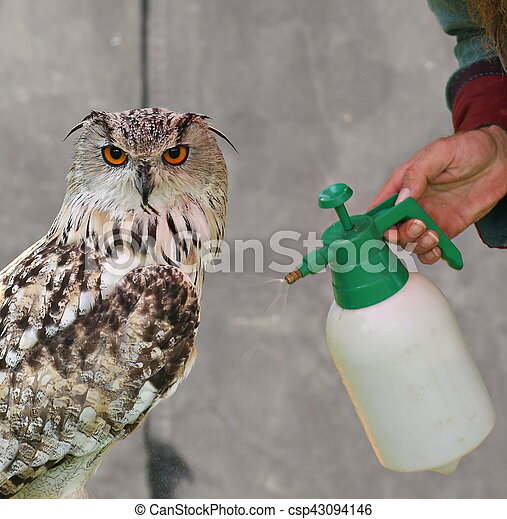 Western Siberian eagle-owl (Bubo bubo sibiricus) is sprayed with water - csp43094146
